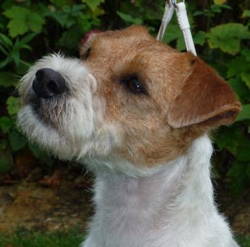 Digaden Parson Russell Terriers Kennel Club Assured Breeder Parson Russell Terrier Terrier The Kennel Club