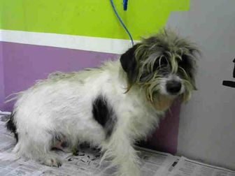 Pictures Of Pattitas A Yorkie Yorkshire Terrier For Adoption In
