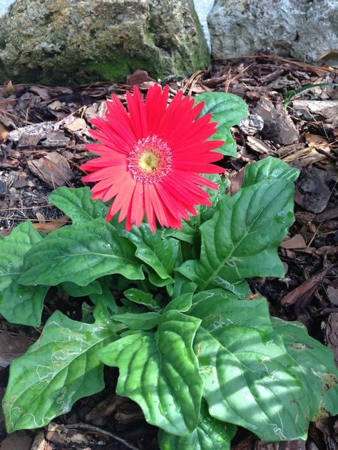 The Gerbera Daisy Is Known Mainly In The U S As A Potted Annual But Florida Gardeners Can Plants These Bri Gerbera Daisy Gerbera Daisy Care Gerbera
