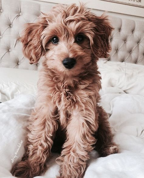 pretty dogs information are offered on our internet site. Read more and you wont be sorry you did. Super Cute Puppies, Cute Dogs And Puppies, Puppies Stuff, Fluffy Puppies, Cutest Dogs, Small Puppies, Pets, Pet Dogs, Dog Cat