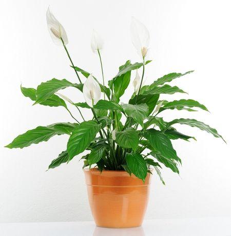 Skrzydlokwiat Lily Plants Indoor Plants Household Plants