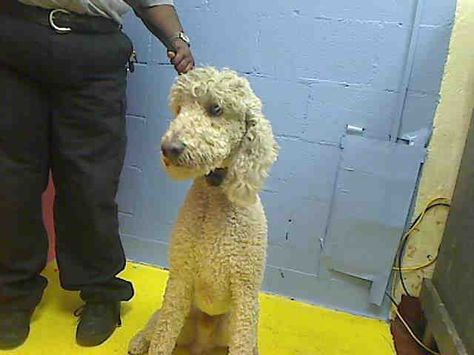 Georgia Standard Poodle Such A Rarity Available Now At The