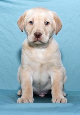 Labrador Retriever Puppies For Sale In 2020 Labrador Retriever