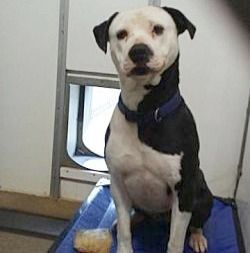 Amazing Pitbull Mixed With Husky For Sale Cute Animals Dog Adoption Dogs
