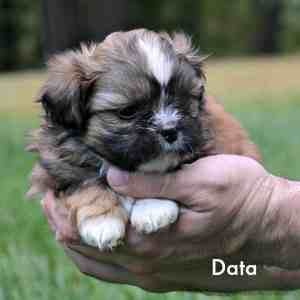 Shih Tzu Nursery A Page Highlights Some Of Our Beautiful Puppies That Are Available Descriptions Photographs And Prices Are A With Images Shih Tzu Puppy Shih Tzu Puppies