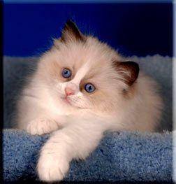 Toledo Oh Supurr Ragdoll Breeder Kittens Mi Indiana Kittens Cutest Kittens Ragamuffin Cat