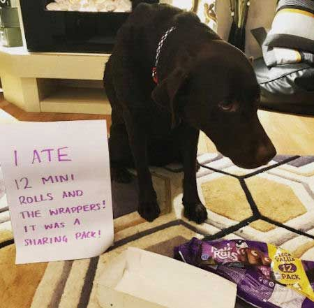 19 Funny And Good Bad Dog Pictures Dog Shaming Funny Dogs Dog
