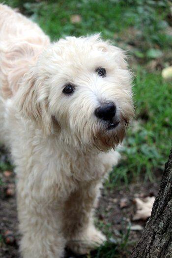 Adopt Celine On Petfinder Dog Adoption Poodle Mix Dogs Poodle Mix