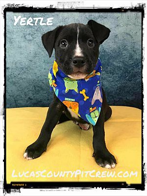 Toledo Oh Labrador Retriever Meet Yertle A Dog For Adoption Pet Adoption Labrador Retriever Pets