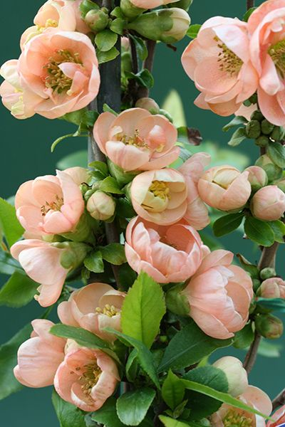 Buy flowering quince Chaenomeles speciosa 'Geisha Girl': Delivery by Crocus.co.uk