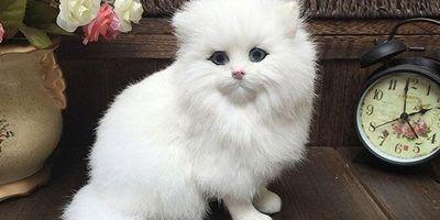 Kucing Lucu Dan Imut Anggora Sempoa Dunia
