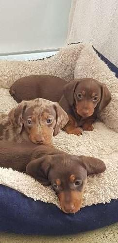 Beautiful Quality Puppy Dachshund Puppies For Sale South West