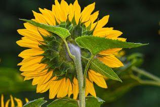 Surajmukhi Ke Beej In Hindi In 2020 Plants Sunflower Flower Planting Flowers