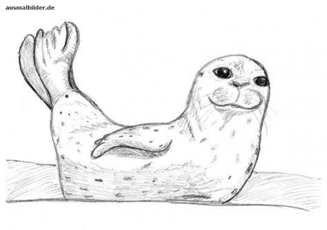 Ausmalbild Bleistiftzeichnung Robbe Ausmalen Ausmalbilder