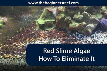 Red Slime Algae How To Prevent Eliminate It In 2020 Red Slime Algae Slime