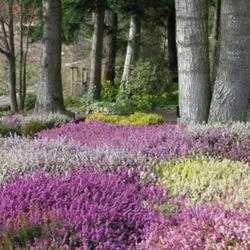 Heaths And Heathers For Usda Zones 4 6 Dave S Garden Data Files Plant Wish List Heather Gardens Heather Plant Winter Plants