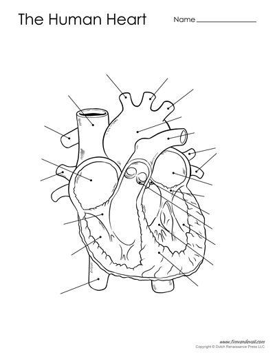 Blank Heart Diagram : blank, heart, diagram, Blank, Human, Heart, Diagram, Diagram,, Printable,