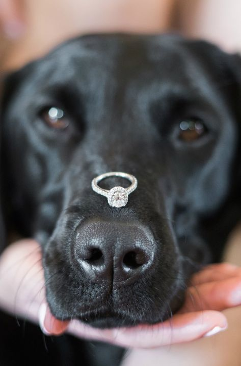 Engagement ring balanced on a dog s nose Such a cute engagement picture idea A Gold and Blush Bridal Shower Ultimate Bridesmaid Anne Molnar Photography - Dog Engagement Photos, Engagement Announcement Photos, Fall Engagement, Engagement Shoots, Engagement Photography, Wedding Photography, Engagement Ideas, Photography Poses, Blush Bridal Showers