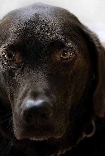 Labrador Puppies Wirral You Want A Labradorcanada Labradorfullygrown Labradordognames Retriever Dog Dogs Labrador Retriever