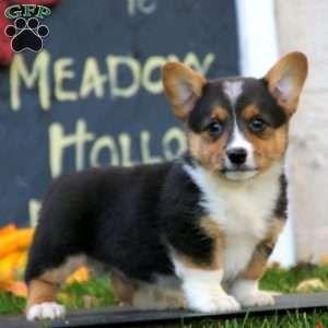 Pembroke Welsh Corgi Puppies For Sale Greenfield Puppies In 2020 Welsh Corgi Puppies Pembroke Welsh Corgi Puppies Corgi Puppies For Sale