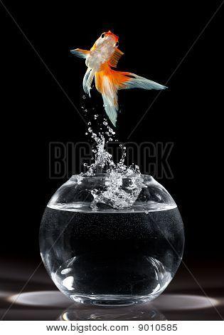 Goldfish Jump Poster Id 9010585 Goldfish Dark Backgrounds Black Paper Drawing