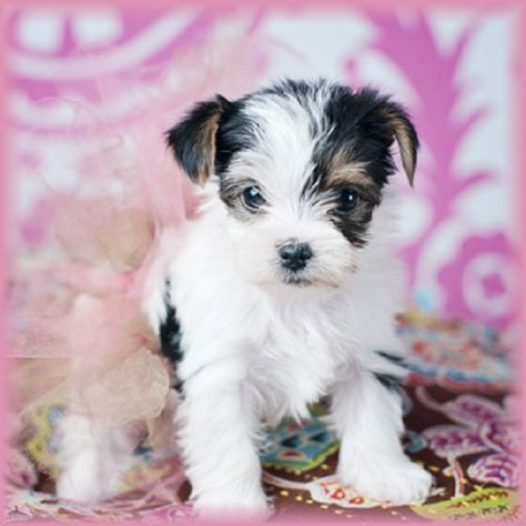 White Teacup Yorkie Puppy Zoe Fans