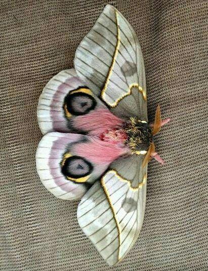 Pin By Mak Kuder On Butterflies Colorful Moths Moth Art Moth