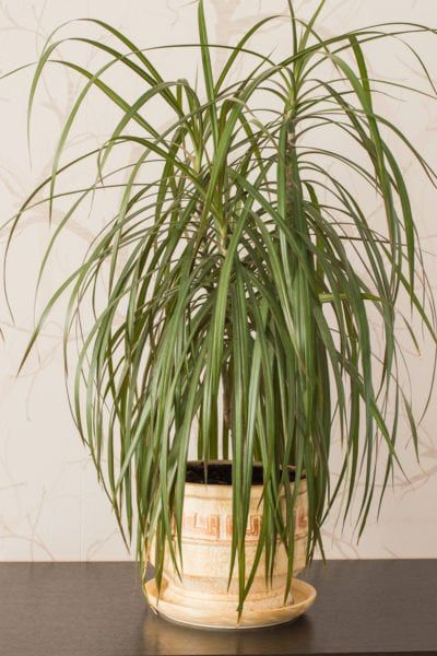 Yucca Vs Dracaena Plants What S The Difference Between Yucca And Dracaena Dracaena Plant Plant Care Houseplant Draceana Plant
