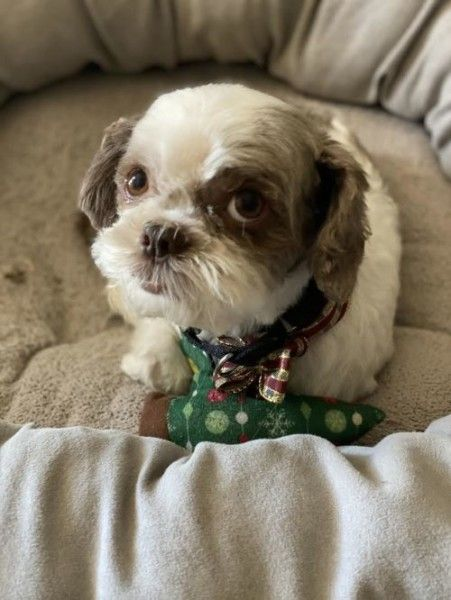 Shih Tzu Rescue Dog For Adoption In Euless Texas Bentley Too In Euless Texas In 2020 Rescue Dogs For Adoption Dog Adoption Shih Tzu Rescue