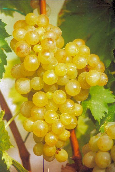 Vitis Vinifera Exalta Vigne Fruits Et Legumes Et Raisin De Table