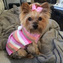 Image Result For Best Female Yorkie Haircuts Yorkshire Terrier Puppies Yorkie Yorkshire Terrier Yorkshire Terrier Dog
