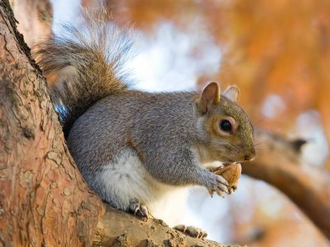 Question While Putting Some Stuff In The Attic I Heard Some Scratching And Squeaking Sounds I Know We Don T Have Mice Animals Squirrel Eastern Gray Squirrel