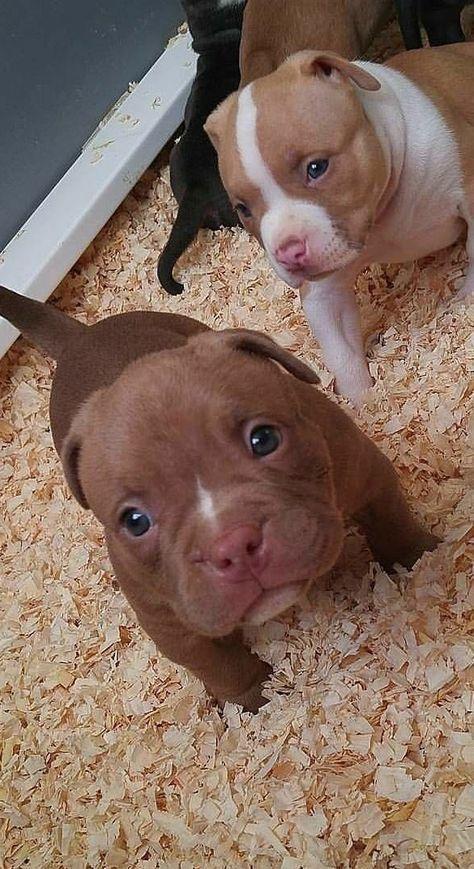 Newborn Baby Pitbulls : newborn, pitbulls, Puppies