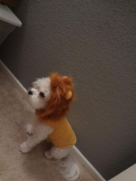 Lion Costume Trick Or Doggie Treat Maltese Dogs Teacup