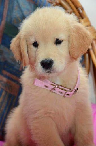 .....a golden retriever puppy.... look at that adorable little face!