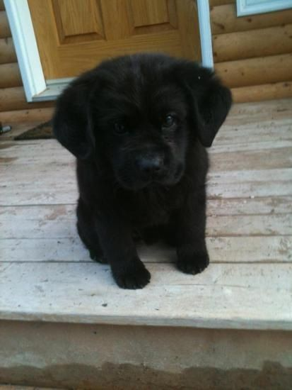 Mini Labrador Retriever Newfoundland Dog Cross Buster Bear Is