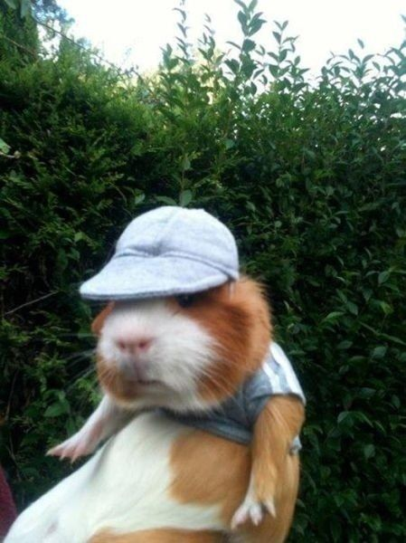 Guinea pigs in hats. (But some of these aren't guinea pigs. There's a rabbit and a hamster, too! Cute Little Animals, Cute Funny Animals, Animal Pictures, Funny Pictures, Funny Pics, Cute Guinea Pigs, Guinea Pig Care, Cute Creatures, Animal Memes