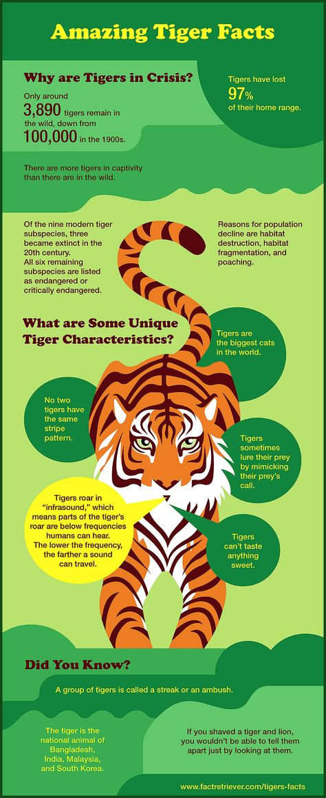 64 Magnificent Tiger Facts Tiger infographic packed with surprising facts statistics history biology tiger behavior and more tigers infographic You are in the right place about history facts viking Here we offer you the most beautiful pictures about the history facts black you are looking for When you examine the Tiger infographic packed with surprising facts statistics history biology  hellip   #egyptianhistoryfacts #facts #historyfactsforkids #historyfactsfunny #magnificent #tiger