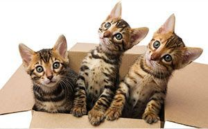 Bengal Cats And Kittens For Sale Bengal Cat Breeder In Georgia Deluxe Cattery Bengal Breeder Cat Ca Bengal Kitten Bengal Cat Breeders Cats And Kittens