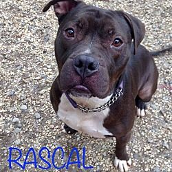 Jackson Nj Boxer Meet Rascal A Dog For Adoption Pets Puppy