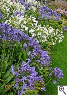 Massif d'agapanthes bleues et blanches