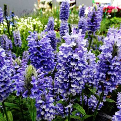 Niezwykle Intensywna Kobaltowa Barwa Lithodora 8002724176 Allegro Pl Perennial Plants Blue Plants Plants