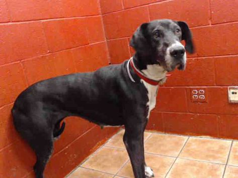 Great Dane Dog For Adoption In Downey Ca Adn 778596 On