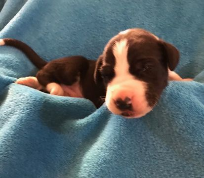 Litter Of 11 Great Dane Puppies For Sale In Chehalis Wa Adn
