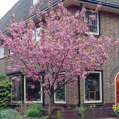 Kwanzan Cherry Tree Spring Hill Nurseries Flowering Cherry Tree Cherry Trees Garden Kwanzan Cherry