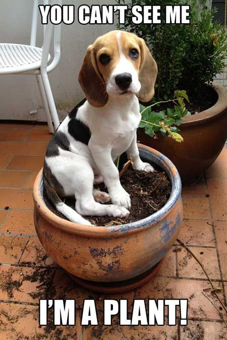 Dog Memes Hilarious Beagle Humor Cute Beagle Puppy Pretending To