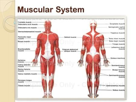 Muscular System Muscular System Functions 1 Produce Movement 2 Maintain Posture 3 Stabilize Joints 4 Muscular System Human Anatomy And Physiology Anatomy