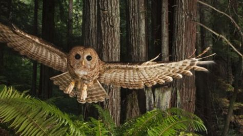 Owl in redwood forest - from the NatGeo Redwood Transect project