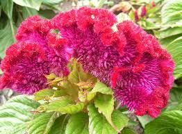 Tumbuhan obat dan sains khasiat ganyong hutan si bunga tasbih tumbuhan obat dan sains khasiat ganyong hutan si bunga tasbih places to visit pinterest canna lily ccuart Gallery