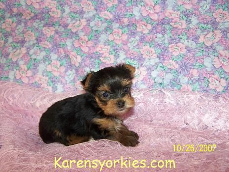 Yorkies For Sale Yorky Breeder Yorky Puppies Yorkshire Terrier Yorkshire Terriers For Sale Te With Images Yorkie Puppy Yorkshire Terrier Puppies Yorkie Puppy For Sale